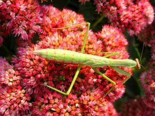 IMG_0316_a_320.jpg Praying Mantis