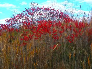 red sumac with sky